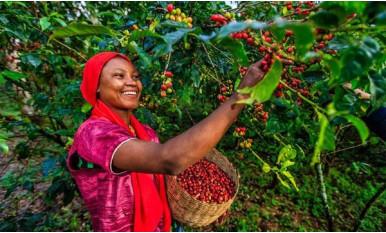 Сбор урожая кофе